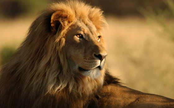 lion Фон № 56852 разрешение 2560x1440