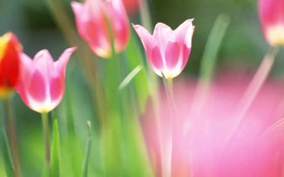 cvety, priroda, vesna, тюльпаны, размытость,