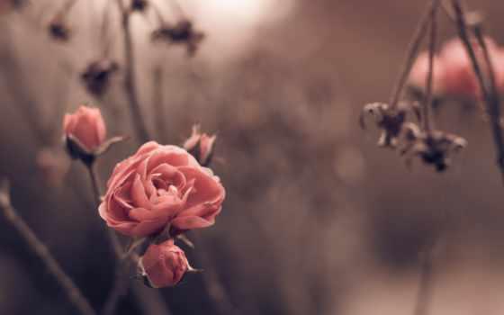 flowers, роза, размытость, природа, весна, цветы, mac, android,