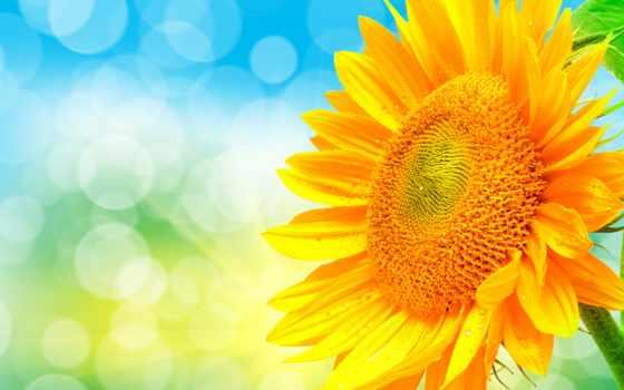красивые, daily, заставки, лепестки, подсолнух, cvety, самые, только, lovejusta,