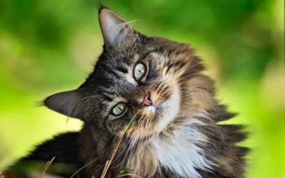 кот, породы, коты, siberian, сибирская, кошки, котенок, купить, сибирской, киев,