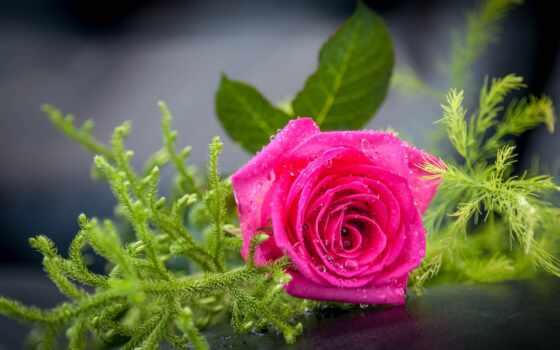 цветы, заставка, роза, high, narrow, хороший, айфон, природа, postcard, качественные