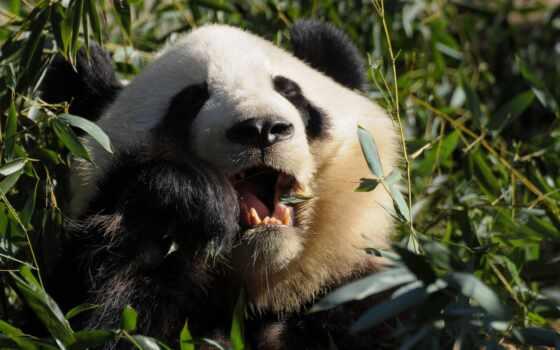 панды, панда, медведи