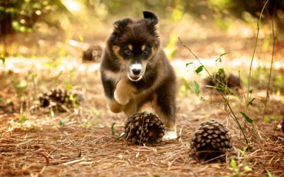 собака, щенок, природа, шишки, собаки,
