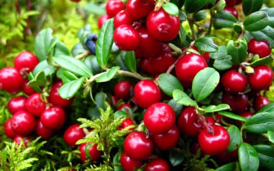 брусника, садовая, maintenance, брусники, посадка, выращивание, behemoth, саду, участке,