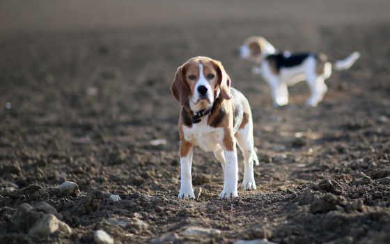 собаки, beagle, щенок, zhivotnye, поле, zoom, стоят, бигли, охотничьи, разных,