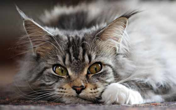 mein, kun, породы, разрешениях, кот, разных, выставка, fone, мордочкой, котенок, котята,
