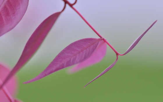 природа, лист, макро, розовый,