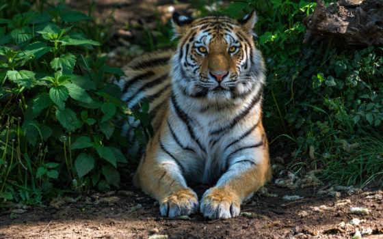 ipad, тигр, мини, animals, кошки, хищник, лежит, air, pro,