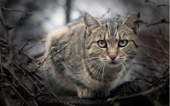 кот, wildcat, silvestris