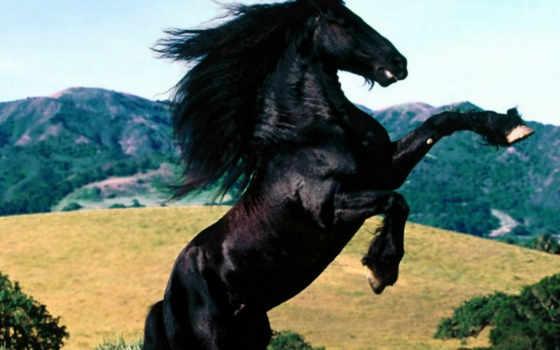 , horses, diablo, friesian, sitemize, olmadan, linkeri, ai, negro, full, bir, caballo,