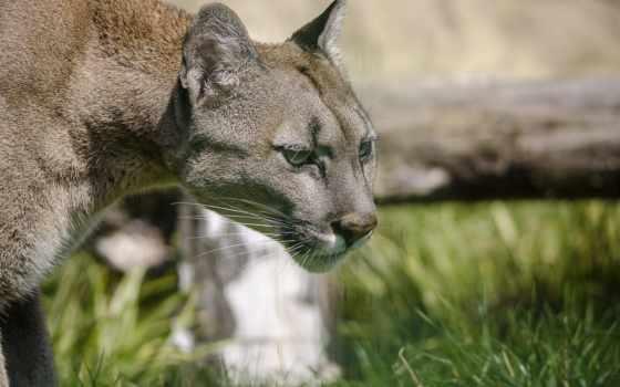 lion, cougar, кот