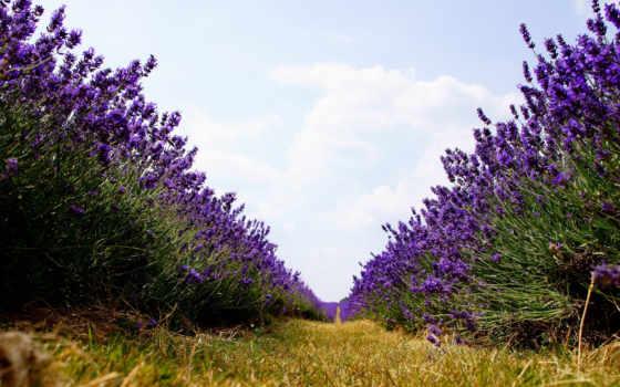 lavender, цветы