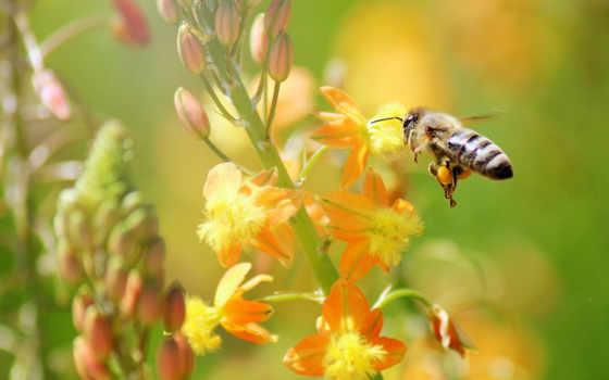 природа, цветы, пчелка, макро, качество, хорошее,
