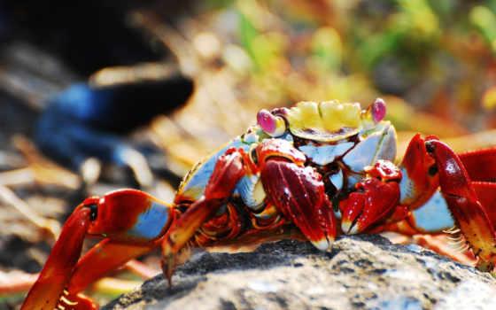 crab, zhivotnye, red, клешни,