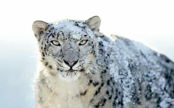 las, leopardo, nieves