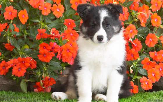 цветы, собака, щенок