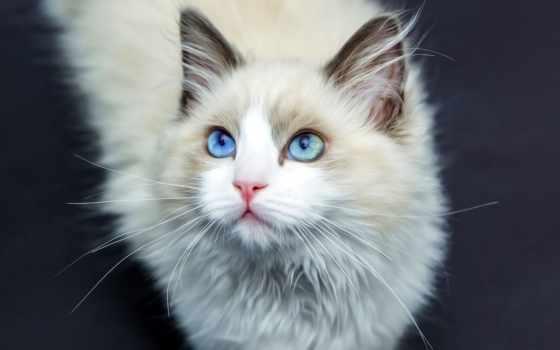 кот, голубоглазый, пушистый, white, свет, ус, кошек,