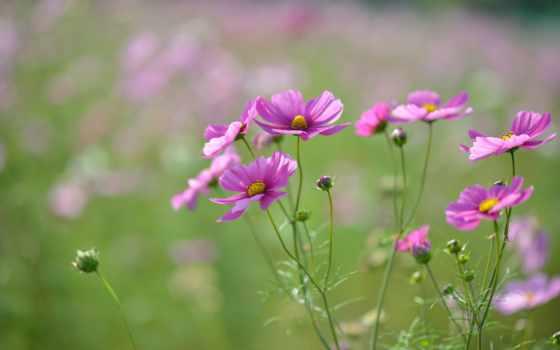desktop, resolution, flowers, розовый, focus, шишки, petals, размытость,