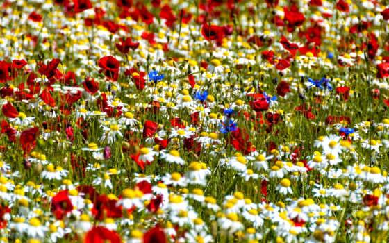 cvety, полевые, васильки, ромашки, поле,