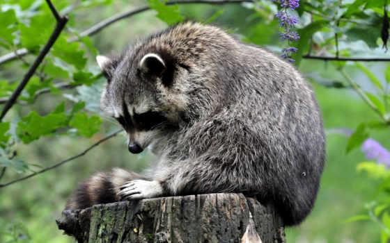 еноты, zhivotnye, енот, raccoons, stump,