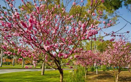 цветение, персик, розовый, california, сады, borchers, helen, corinthian, зелёный, дек,