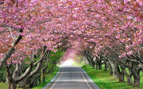 цветущая, Сакура, cherry, тонизирующее, дорога, impact, оказывает, изображение, снимает, усталость, japanese,