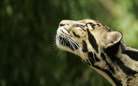 леопард, zhivotnye, дымчатый, дикие, кот, снять, кошачьих, леопарда, world, категория,