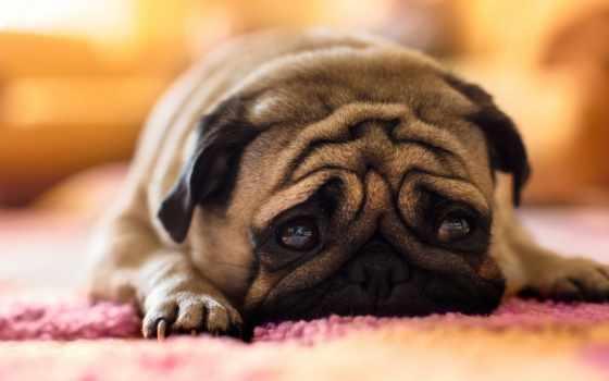 мопс, собака, грустный
