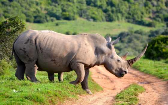 animal, природа, afrikan, их, носорог, разница, обезьяна, dvunogii, stupid, nerazumnost, мама