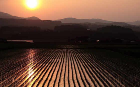 rice, nature