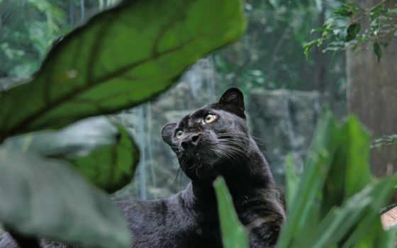 пантера, хищник, просмотреть