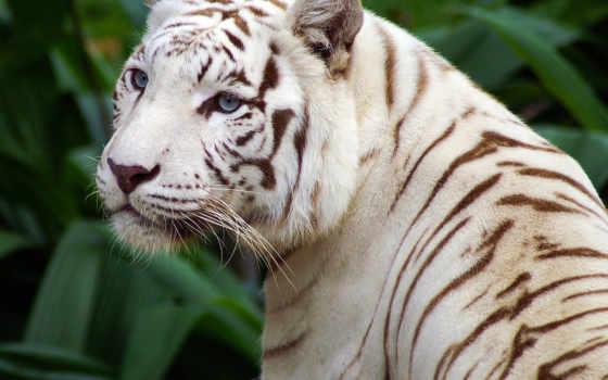 тигр, white, полоски