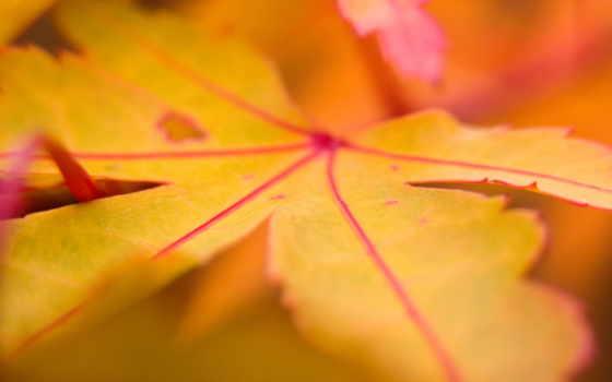 лист, осень, осенние, красные, листва, крупным, планом,