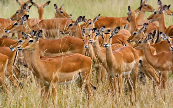 animales, manada, kenia, pantalla, fondos, mara, impala, áfrica, imágenes,