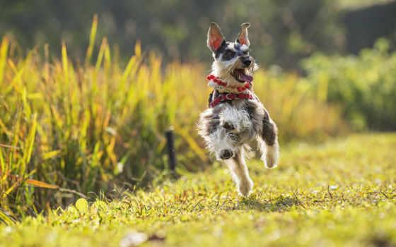 ризеншнауцер, miniature, цвергшнауцер, собака, гном, бежит, настроение, run,