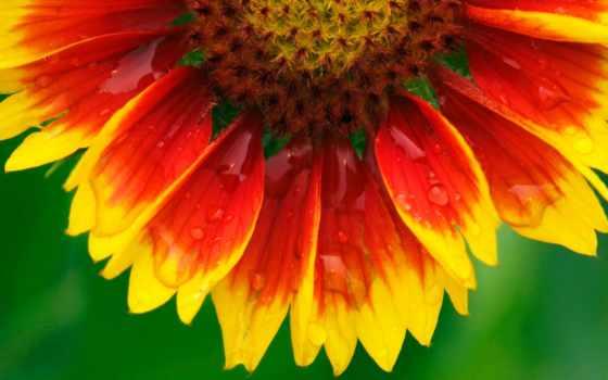 макро, лепестки, капли, цветы, природа, трава, pictures, pin, картинка,