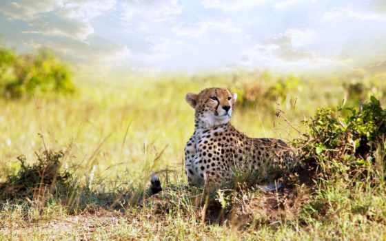 zhivotnye, животных, source, animalphotos, гепард, ткани,
