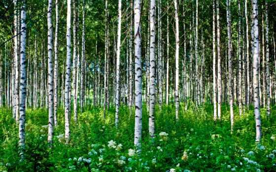 лес, grove, береза, летом, березовая, природа, под,