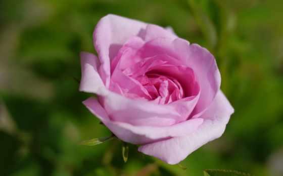 цветы, mobile, flowers, зелёный, frases, tapet, red, rosas,