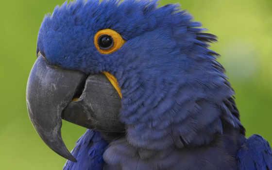 zhivotnye, птицы, домашние, macaw, дома, попугай, завести, have, мире, могут, запросто,
