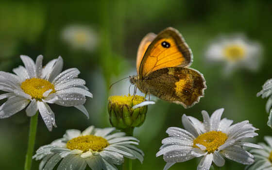 анимация, бабочка, ромашка, красивый, цветы, правильный, гифка, gif, animal, dixinox