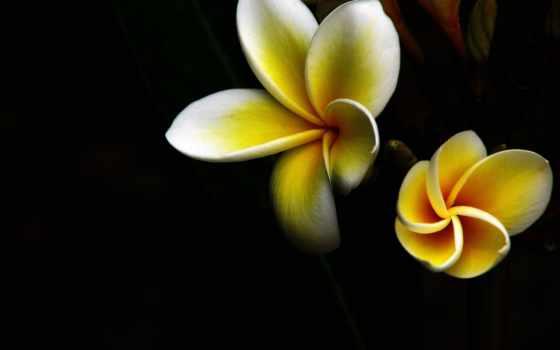 макро, цветы, yellow