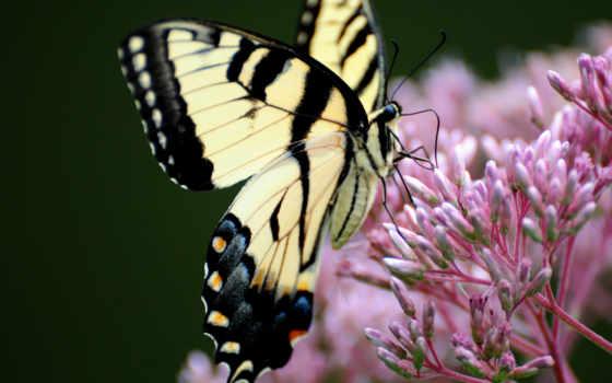 бабочка, махаон, цветке