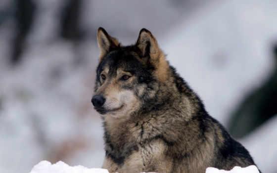 волк, winter, взгляд