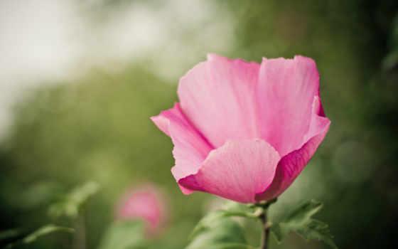 розовый, цветы, зелёный