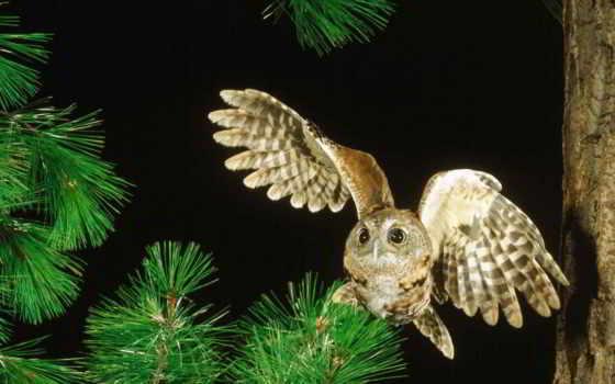 сова, совы, прикольные, пучеглазая, video, лесу, филин, дек, прикольное, забавные, сосновом,