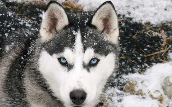 волк, eyes, blue