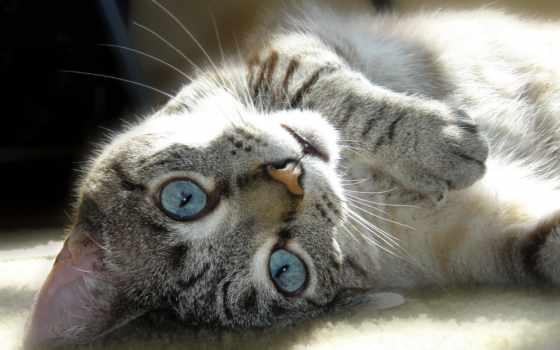 свет, кот, глазами, голубыми, кошек, обворожительных, невероятно, голубые, янв, кошки,
