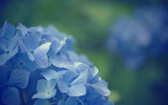 cvety, синие, макро, цветочки, голубые, blue, красивые,